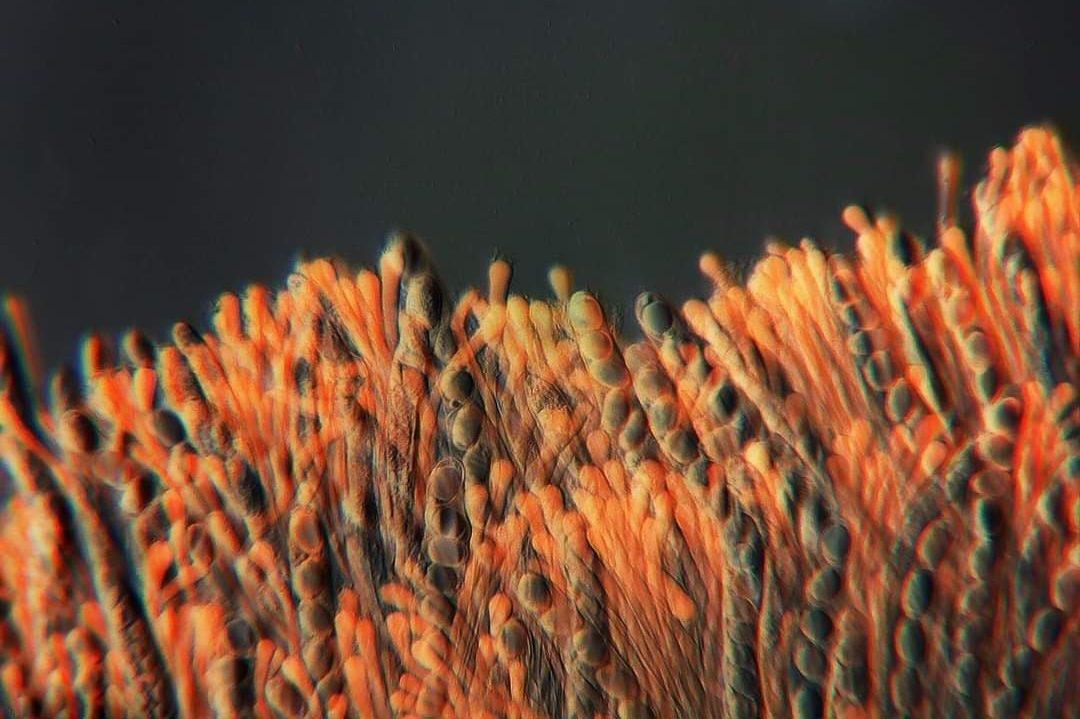 Beyaz Semer Mantarı- Helvella crispa Mikroskopta hücre görünümü