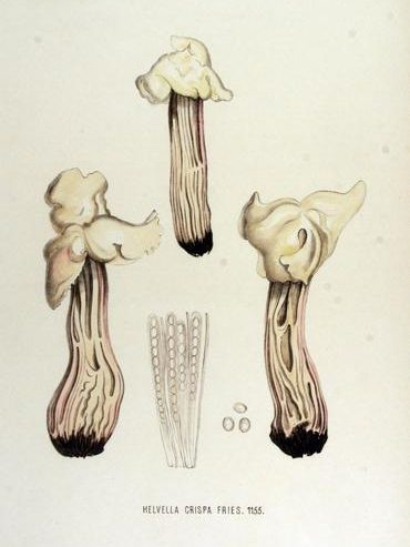 Beyaz Semer Mantarı- Helvella crispa