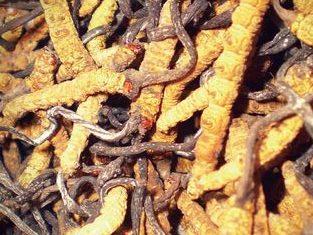 Tibet Tırtıl Mantarı  Caterpillar Mushroom