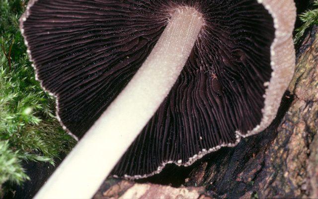 Pullu Mürekkep Mantarı-Coprinellus micaceus