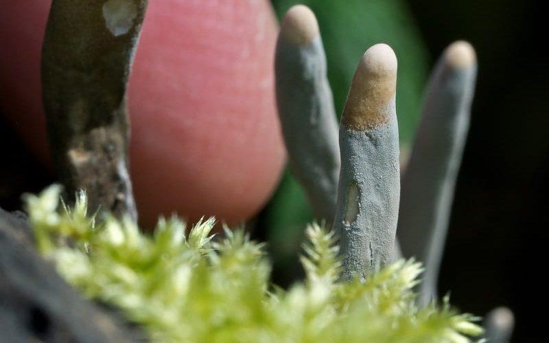 Ölü Adamın Parmakları Mantarı