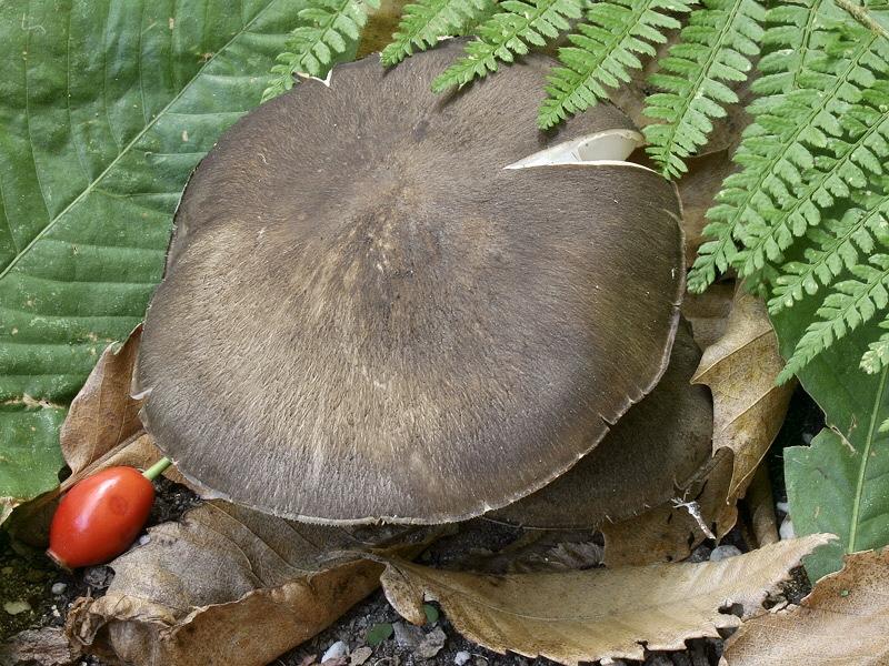 Megacollybia platyphylla